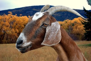 Goat photo courtesy the Washington Post (Flickr/Bagsgroove)